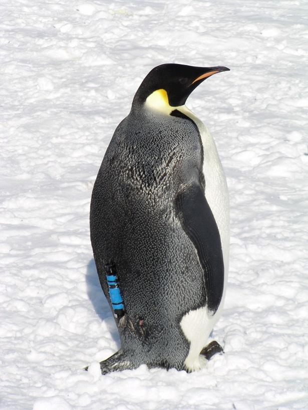 ロガーをつけたペンギン