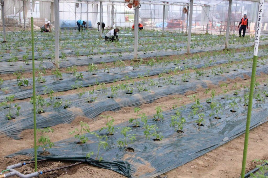 <幸 満 つる郷 KDDIエボルバ 野蒜、ミニトマト圃場の様子>